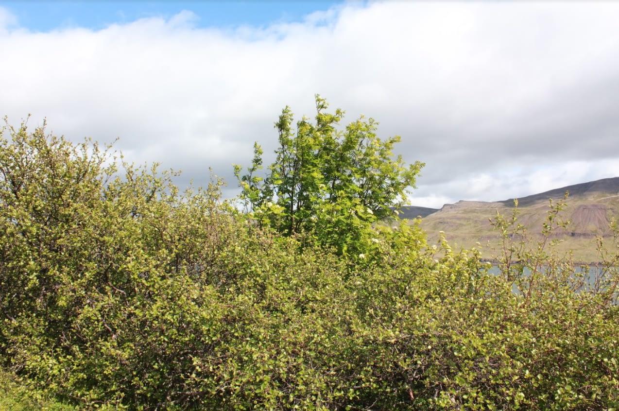 Reynitré og birki í Teigskógi